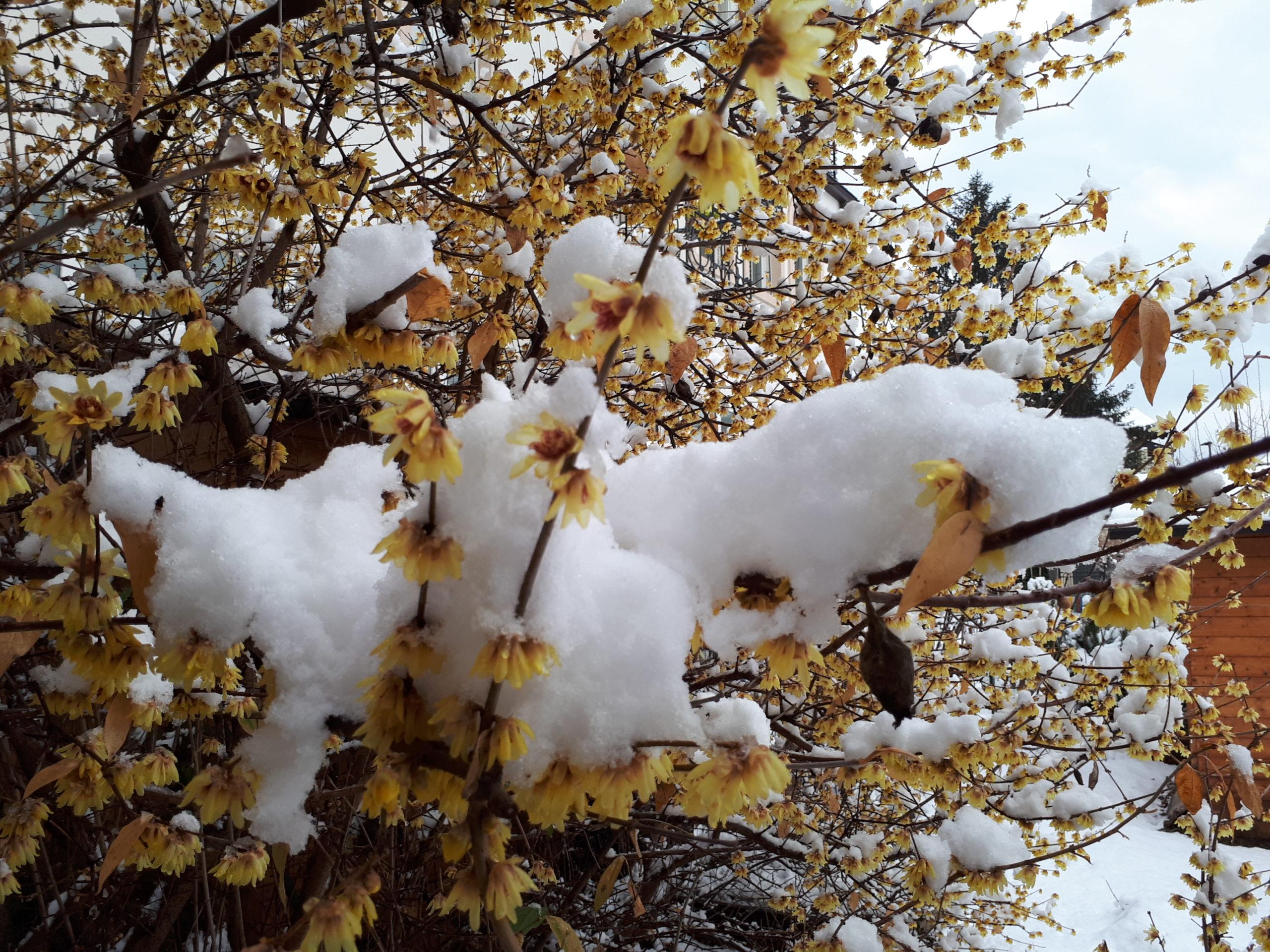Calicanto Fiore D Inverno il calicanto della mamma, quel fiore magico che a lavis